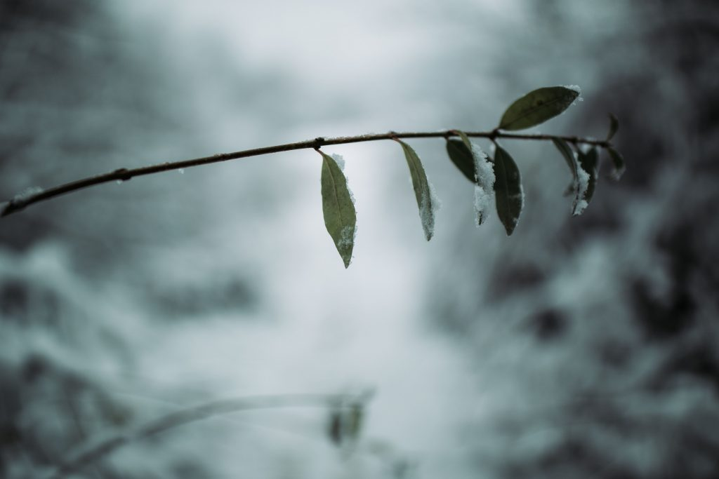 Close-up of a branch - picture taken with Samyang XP 35mm F1.2